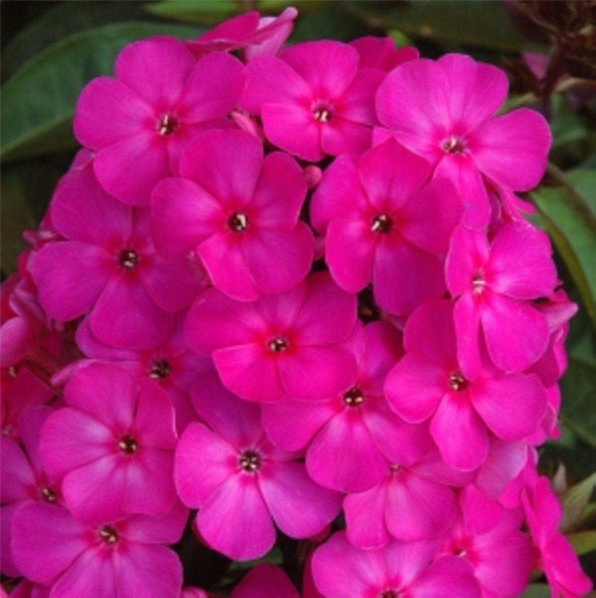 flammenblume sommerpflox lange blüte phlox paniculata border gem