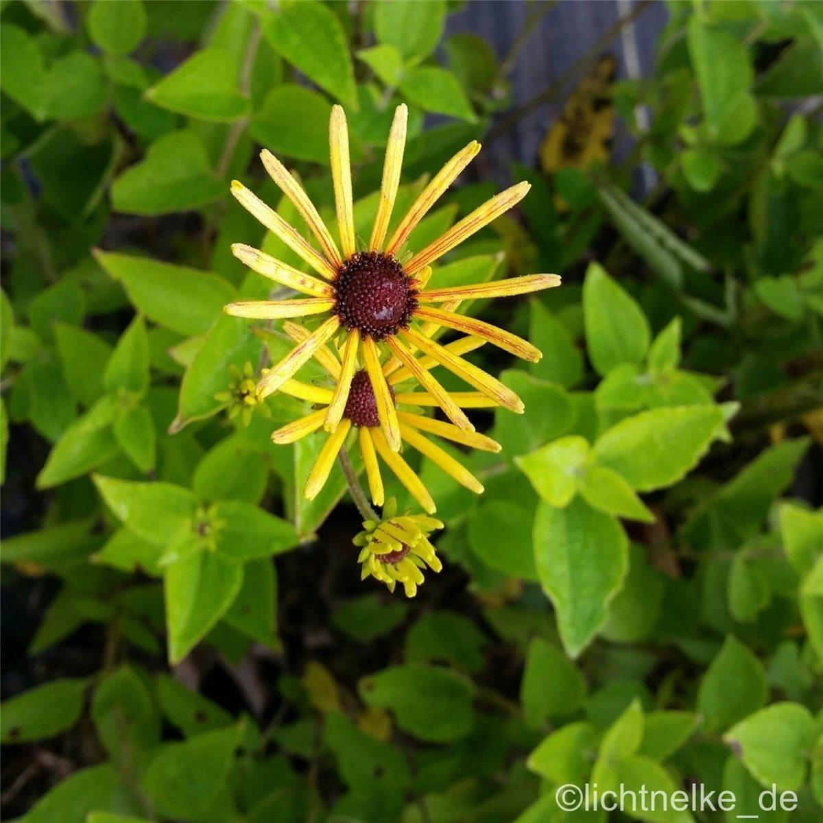 Hoher Stauden Sonnenhut Rudbeckia Henry Eilers Schnitt Blume Beet Pflanze Garten