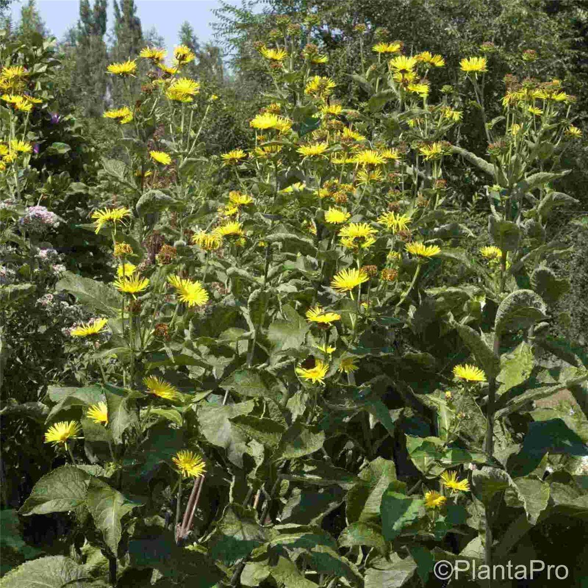 Heilpflanze Inula helenium Wildstaude Echter Alant Tb9 winterfest