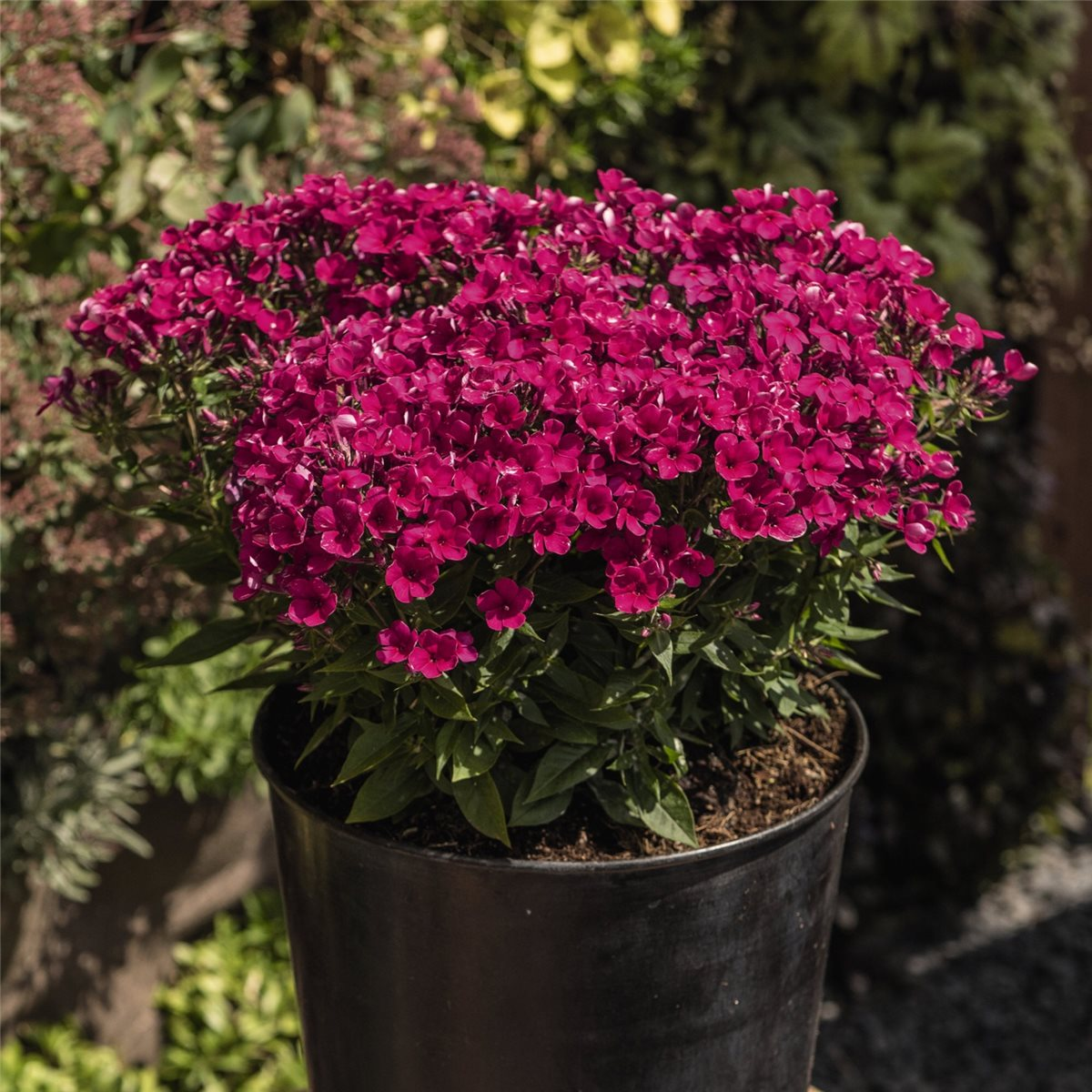 early cerise flammenblume phlox paniculata farbintensive k belpflanze staude ebay. Black Bedroom Furniture Sets. Home Design Ideas