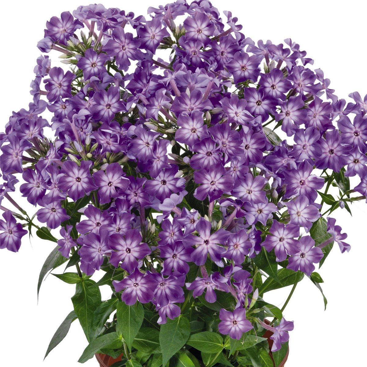 early purple eye flammenblume phlox paniculata k bel farbkr ftig staude robust ebay. Black Bedroom Furniture Sets. Home Design Ideas