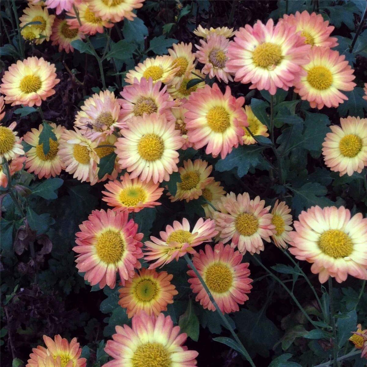 1 X Staude Pflanze Herbst Chrysantheme Dendranthema Indicum