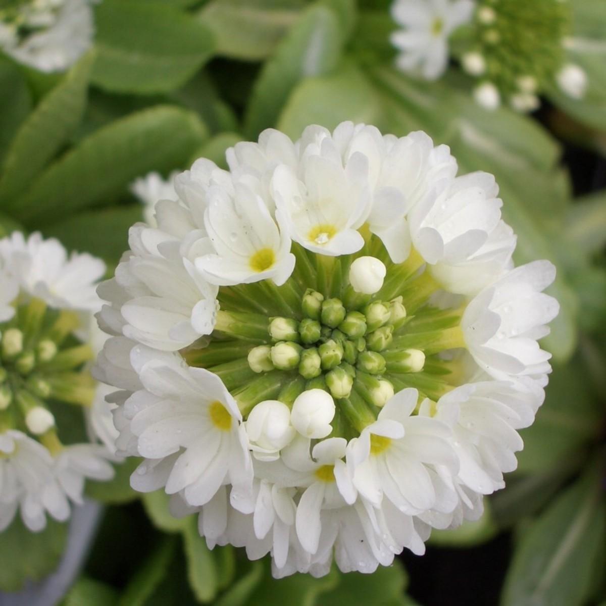 Kugelprimel Primula denticulata Alba Frühlingsblüher