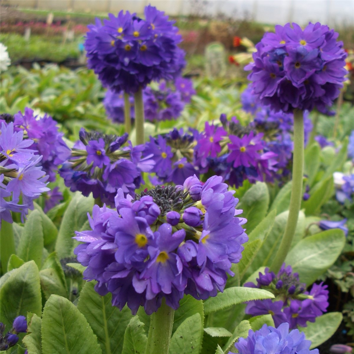 kugelprimel primula dent blau lila fr hling staude nektar pflanze ebay. Black Bedroom Furniture Sets. Home Design Ideas