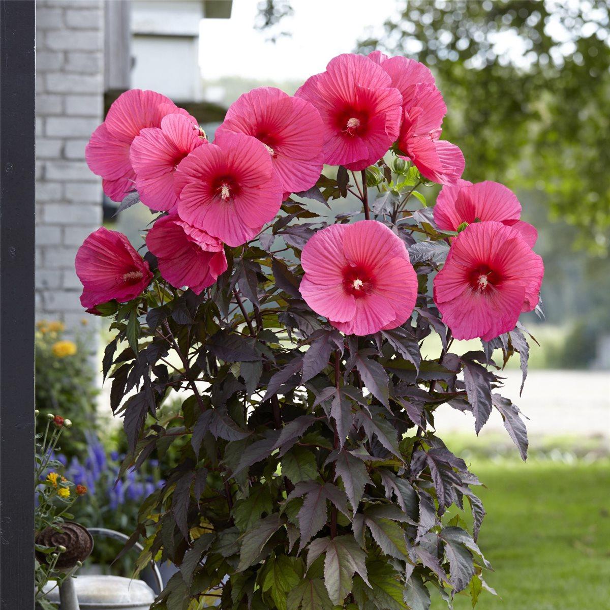 pink passion riesen hibiskus hibiscus mosch frostfester. Black Bedroom Furniture Sets. Home Design Ideas