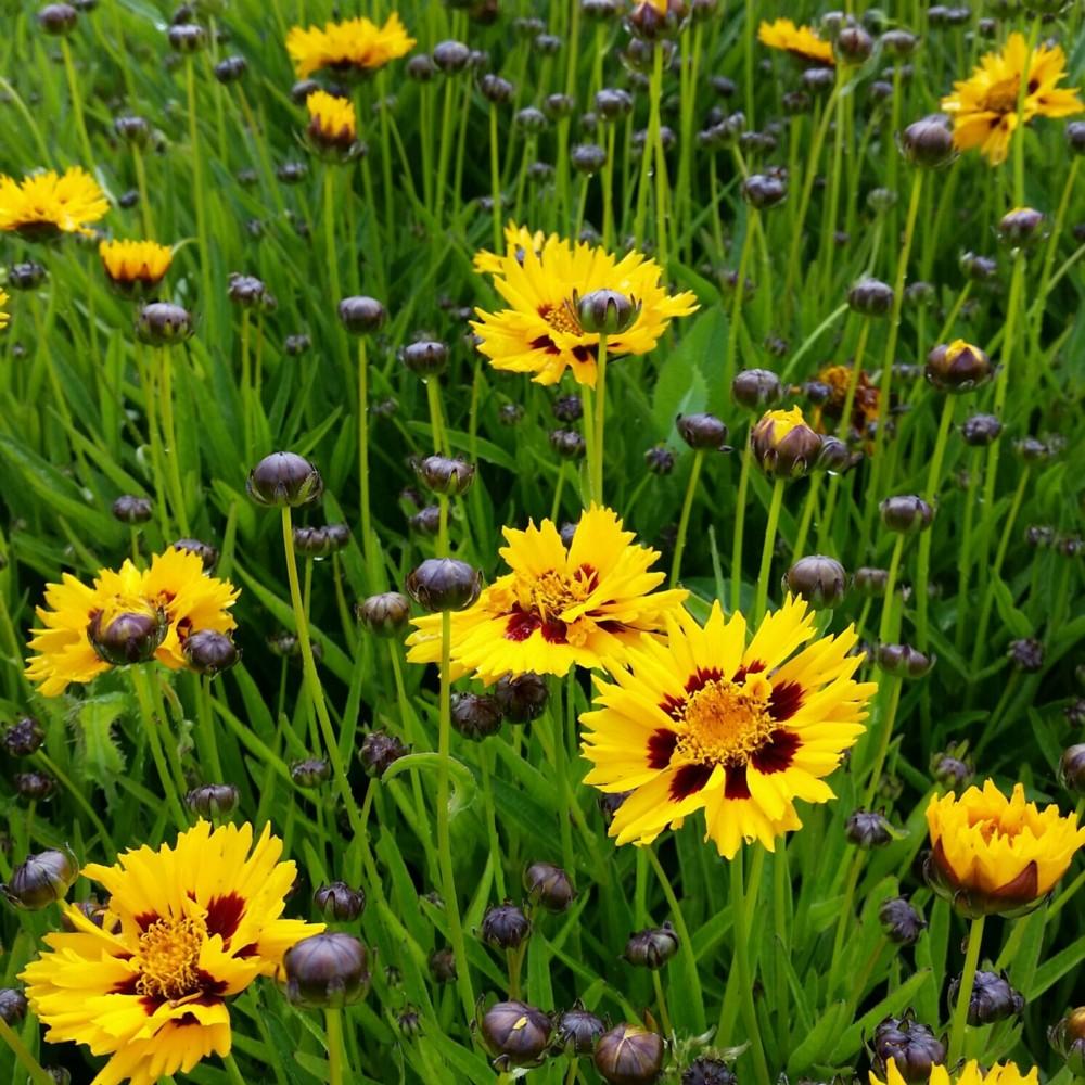 54 stauden pflanzen mix sonnen beet blau weiss gelb mit for Stauden pflanzen