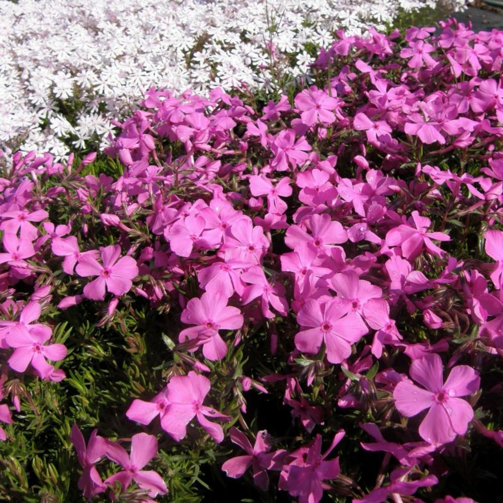 14 stk steingarten bodendecker stauden pflanzen rosa ebay. Black Bedroom Furniture Sets. Home Design Ideas