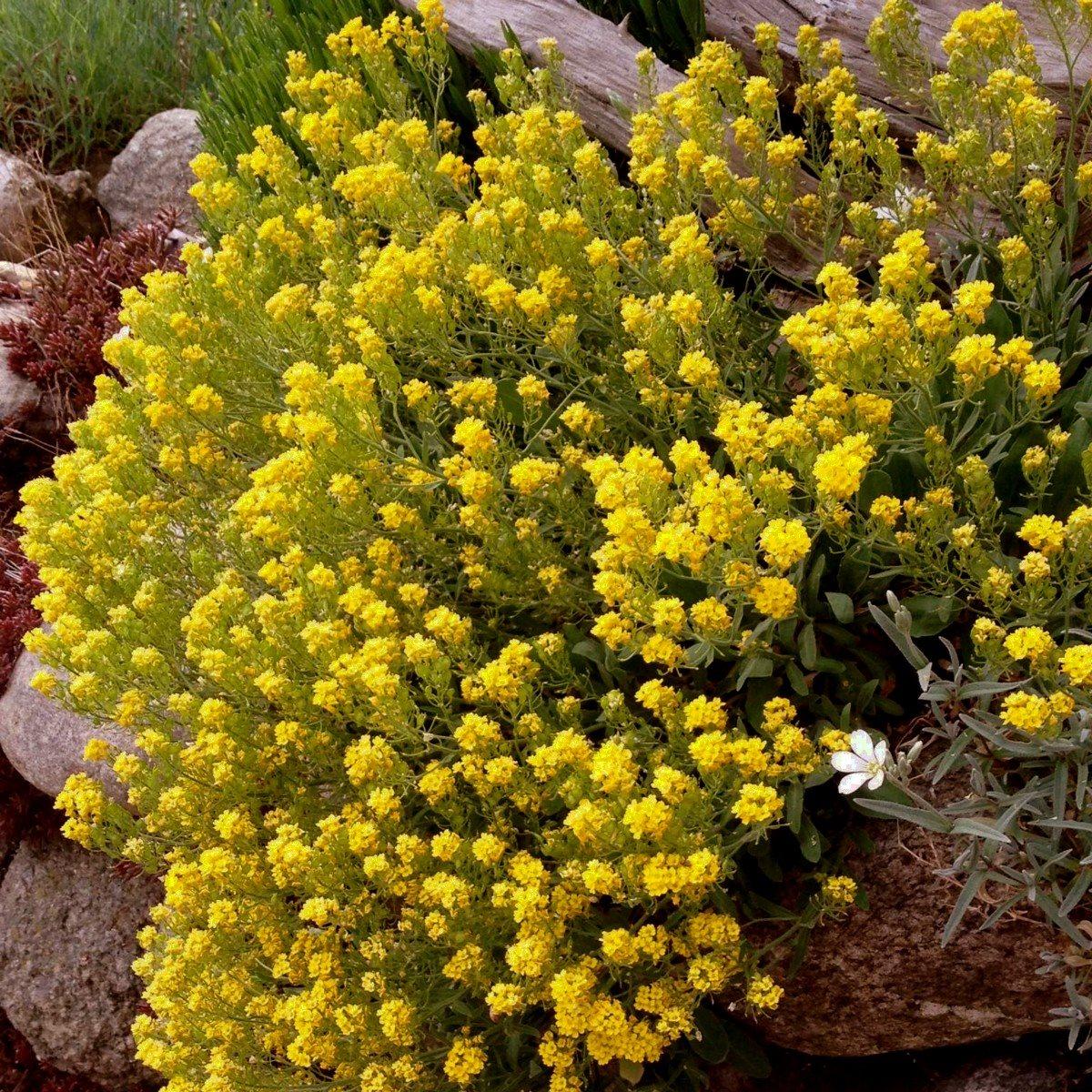 berg steinkraut alyssum berggold staude trockenmauer sonnig k bel pflanze ebay. Black Bedroom Furniture Sets. Home Design Ideas