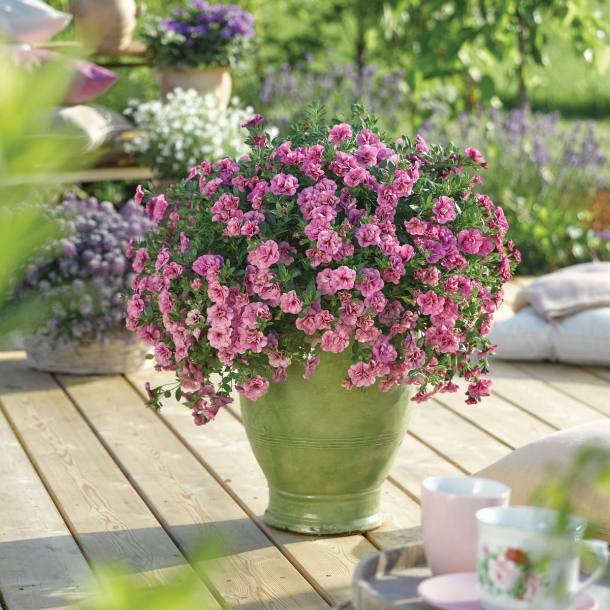 zaubergl ckchen can can rosies pink vein neuheit dauerbl her terrassen pflanze ebay. Black Bedroom Furniture Sets. Home Design Ideas