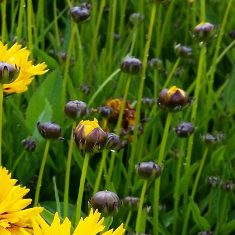 1x pflanze gro blumiges m dchenauge coreopsis grandiflora presto neuheit staude ebay. Black Bedroom Furniture Sets. Home Design Ideas