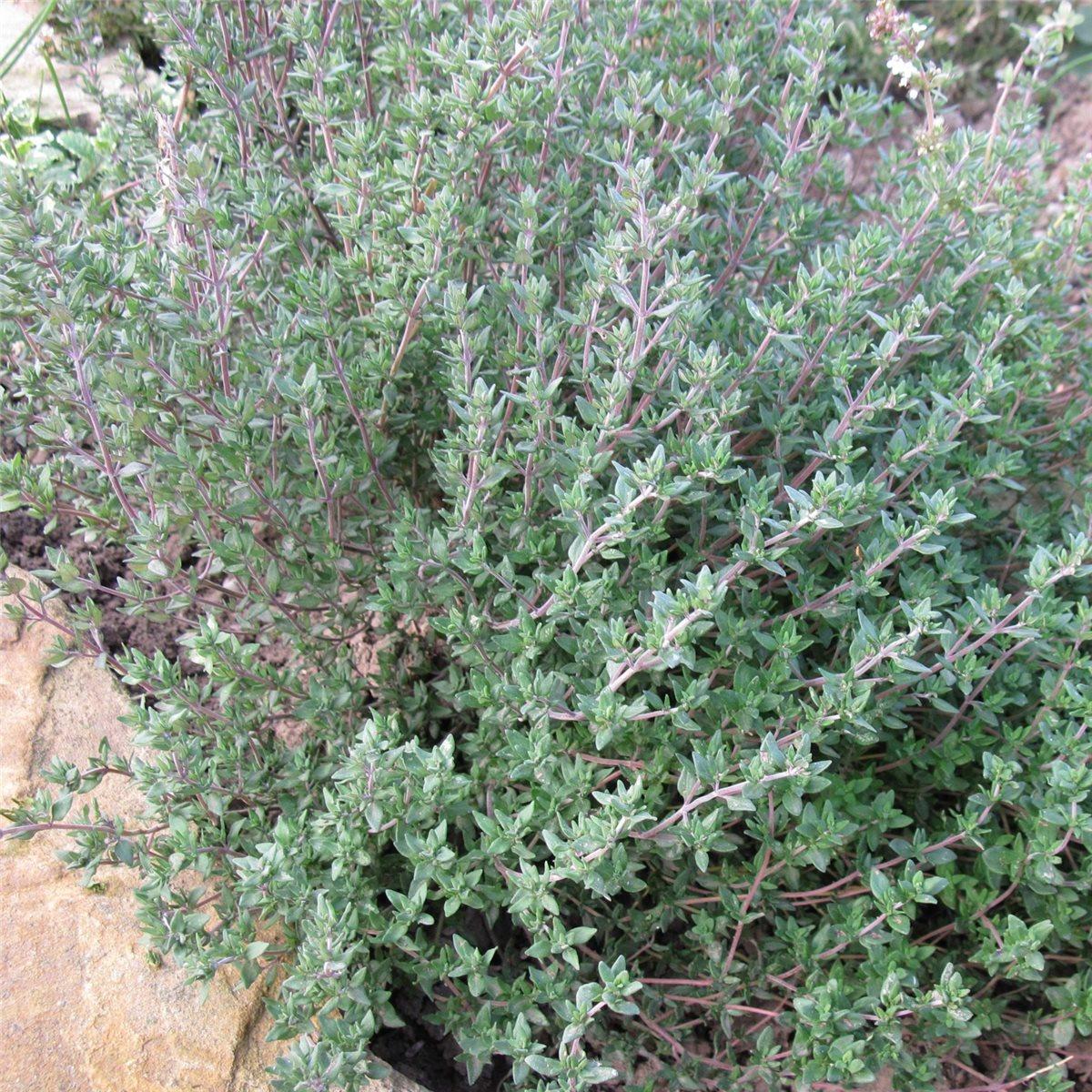 Gewürzthymian Thymus vulgaris PRECOMPA graugrüne Belaubung Heilkraut Gewürz