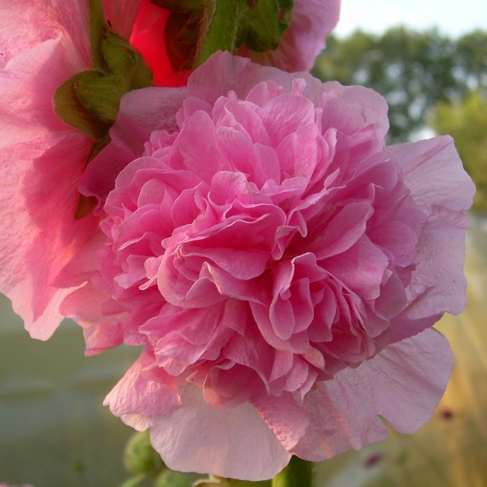 Stockrose Alcea rosea plena Chaters WEISS winterhart   gefüllt   großblumig
