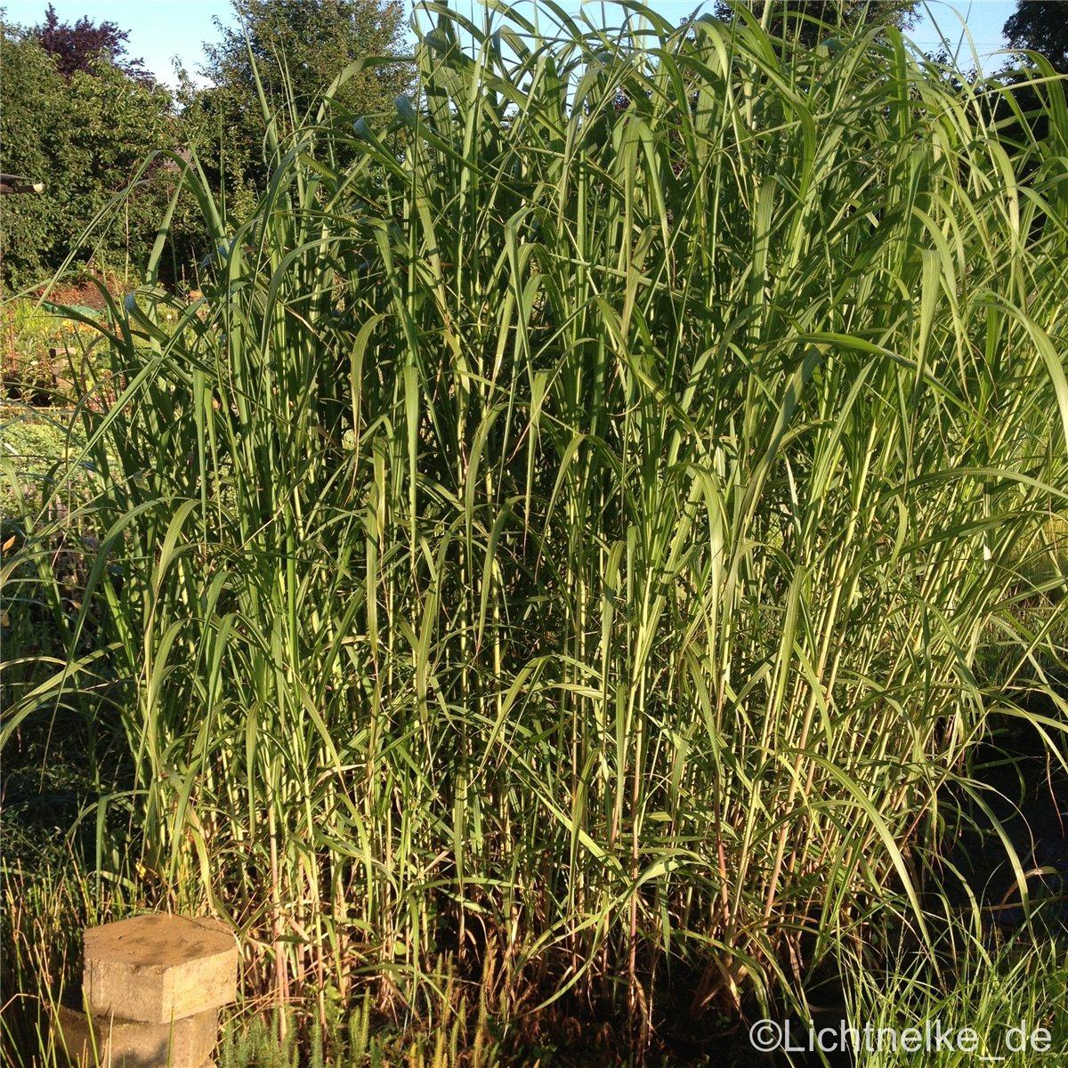 1 X Staude Pflanze Riesen Chinaschilf Miscanthus Giganteus